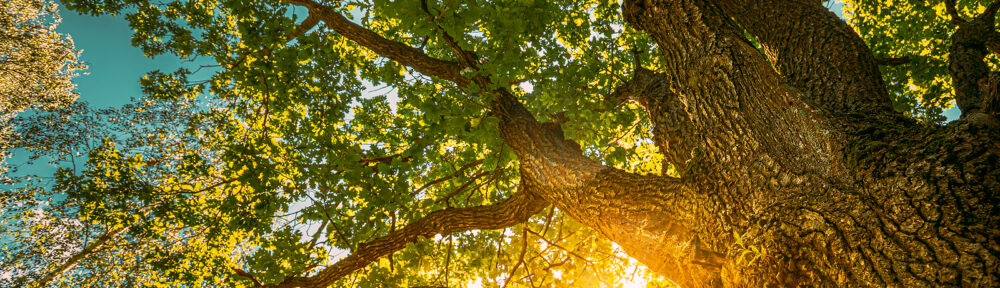 Oak Tree Removal Indianapolis IN